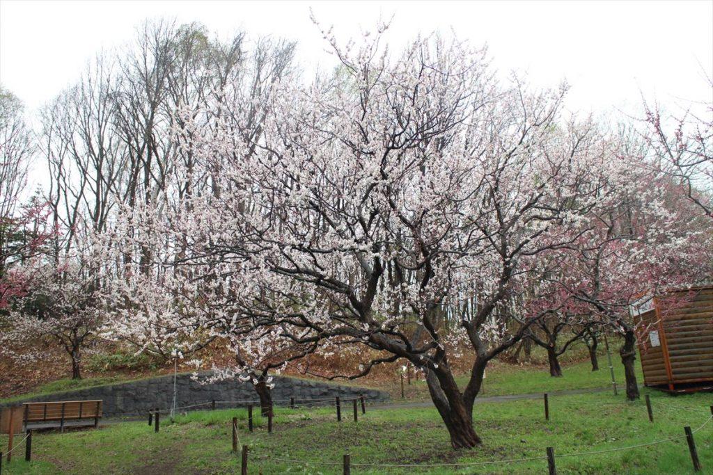 5月2日の白梅基準木の全景(八分咲)