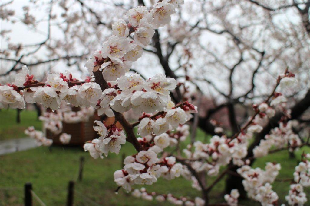 5月2日の白梅基準木の花