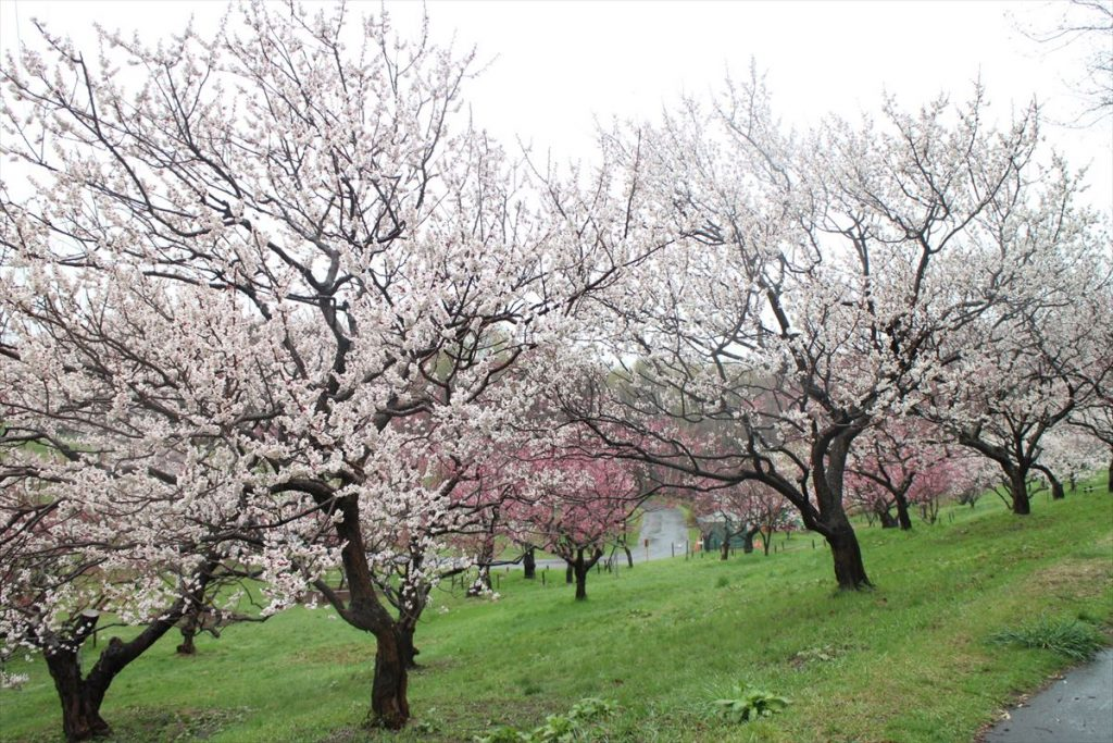 平岡公園ウメの様子(5月3日)