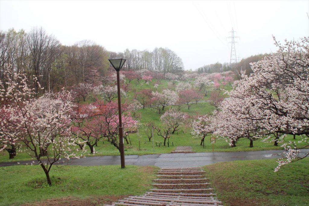 5月2日の梅林全景(1)