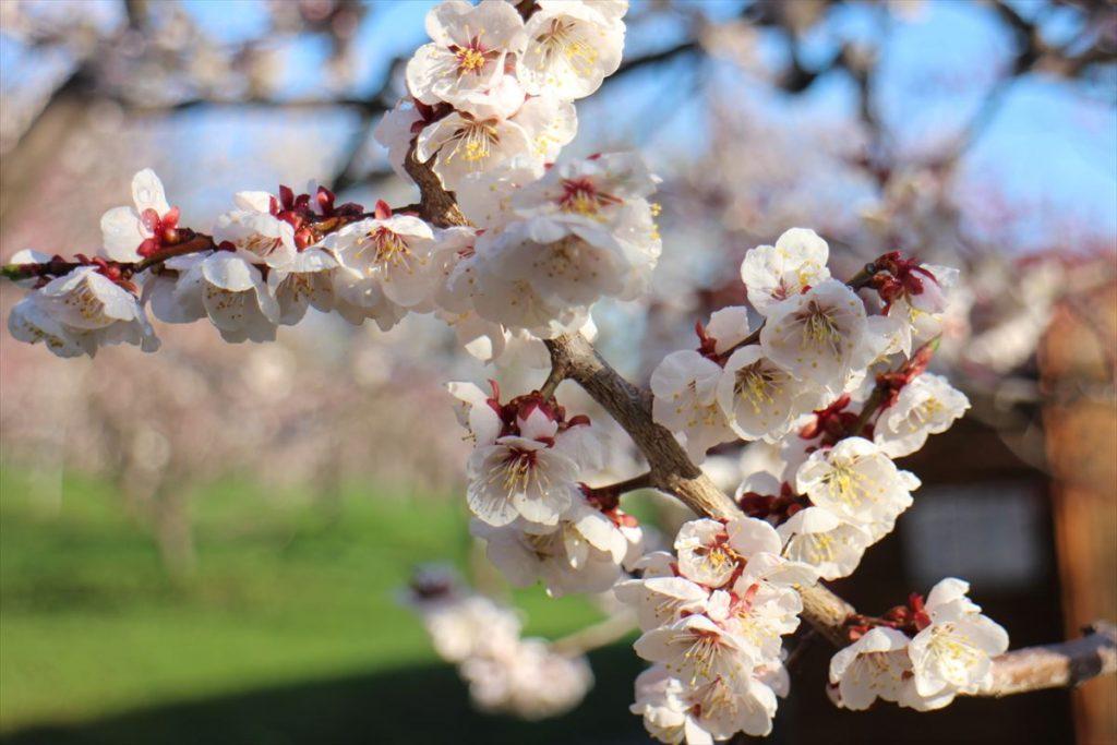 5月4日の白梅基準木の花