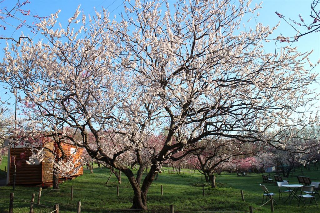 5月4日の白梅基準木の全景(満開)