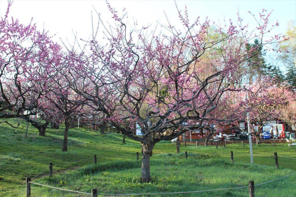 5月4日の紅梅基準木の全景(二分咲)