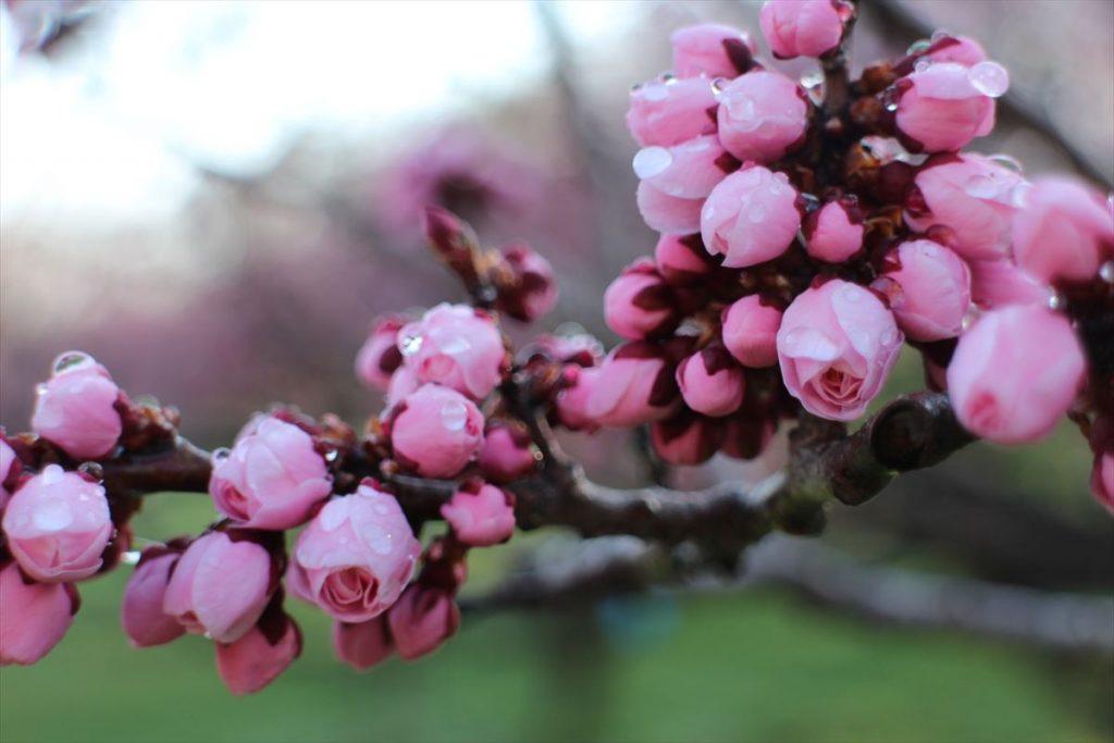5月4日の紅梅基準木の蕾