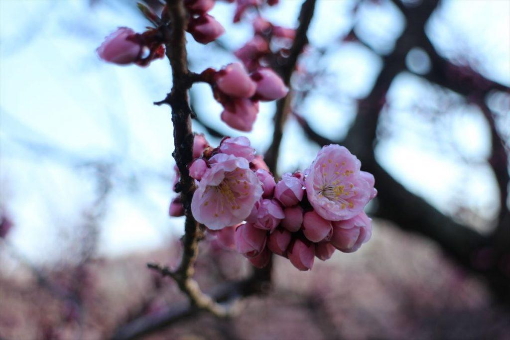 5月4日の紅梅基準木の花