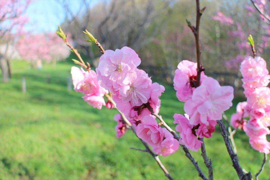 紅梅の花のアップ