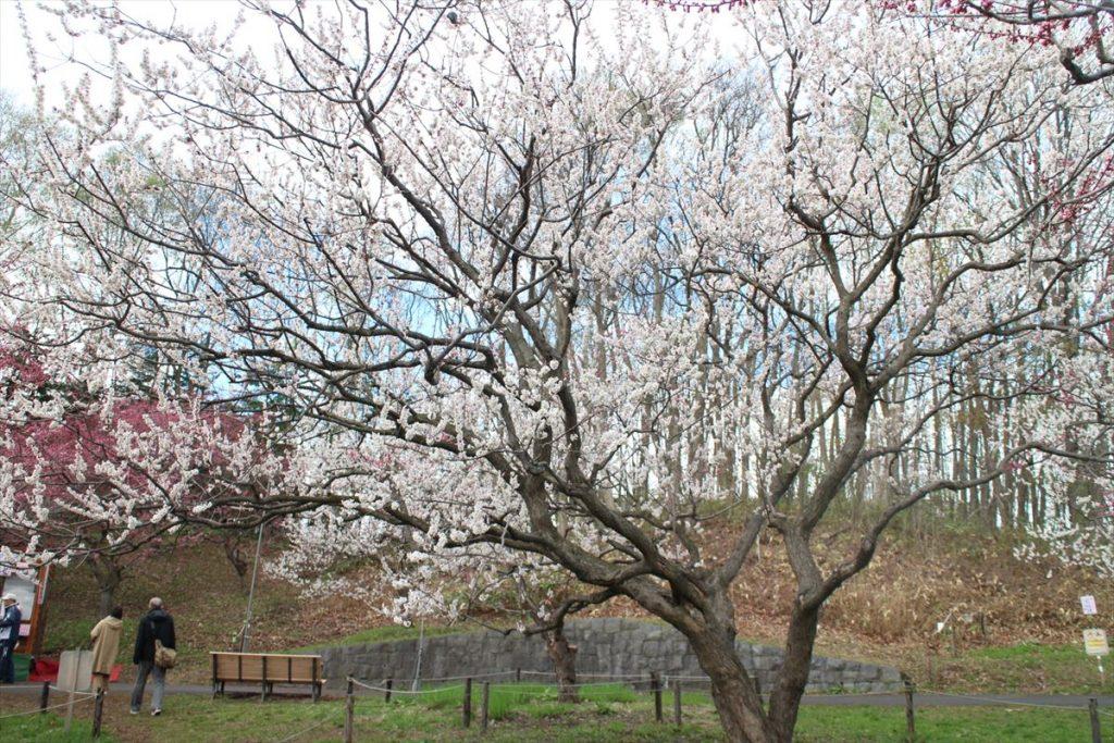 5月5日の白梅基準木の全景(満開)