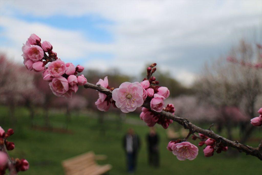 5月5日の紅梅基準木の花