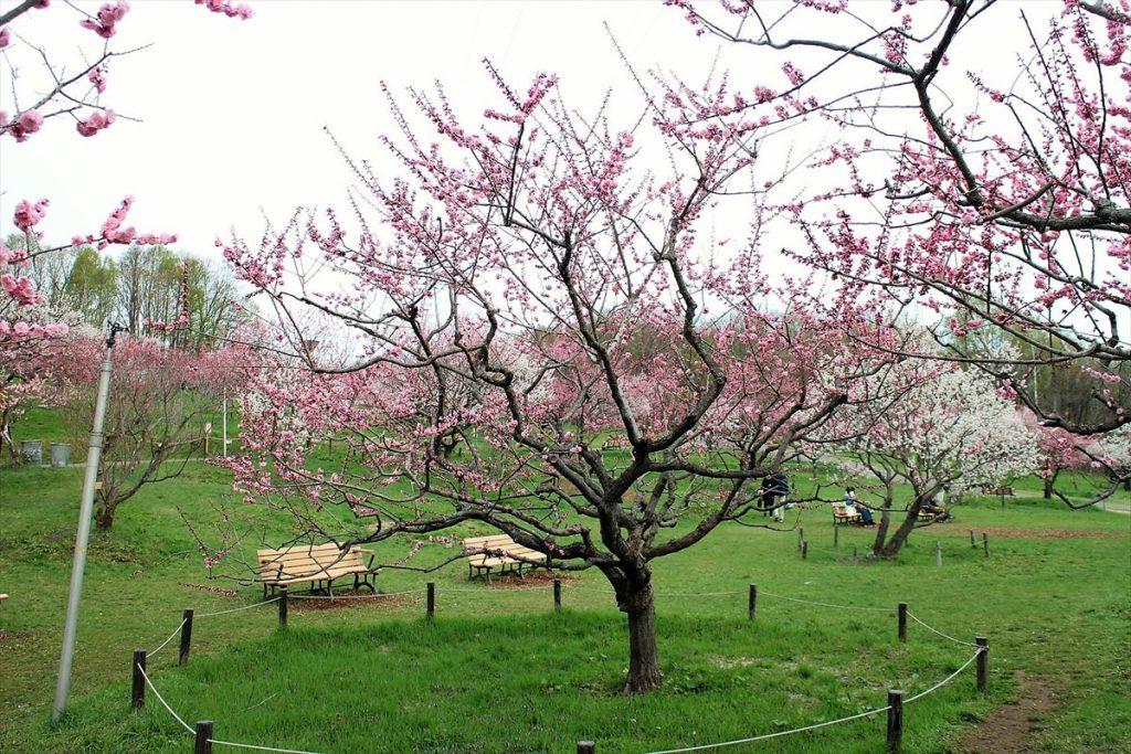 5月6日の紅梅基準木の全景(五分咲)