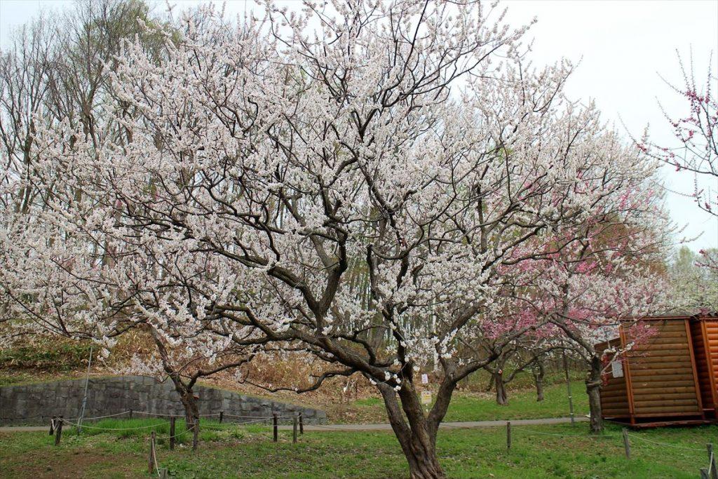 5月6日の白梅基準木の全景(満開)