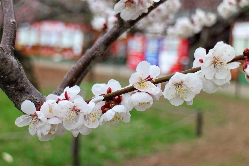 5月6日の白梅基準木の花のアップ