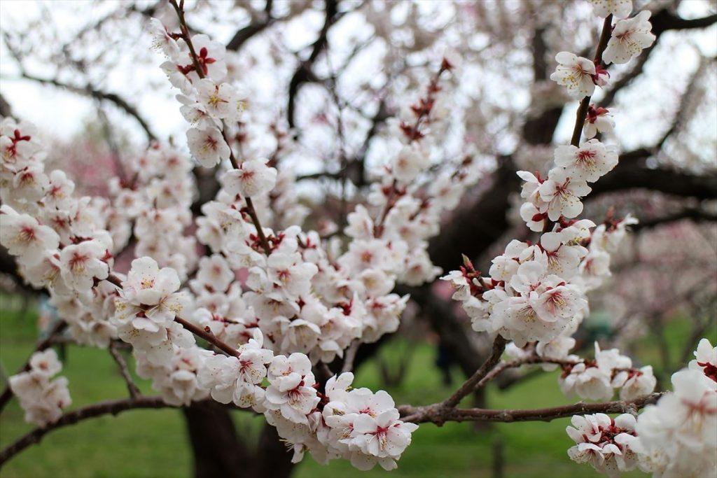 5月6日の白梅基準木の花