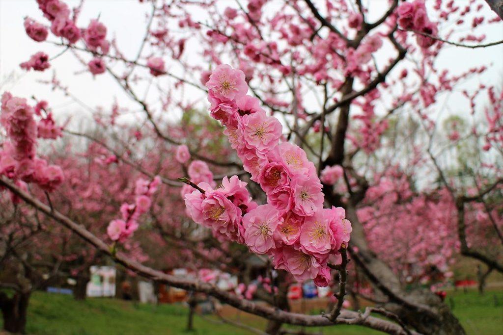 5月6日の紅梅基準木の花