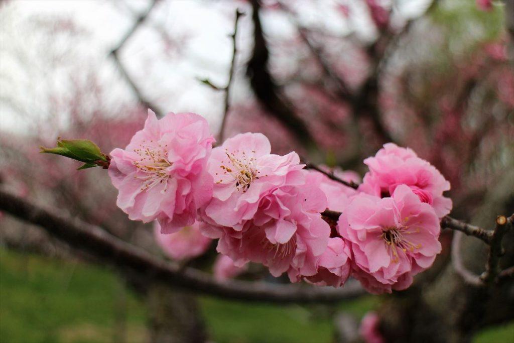 5月6日の紅梅基準木の花のアップ
