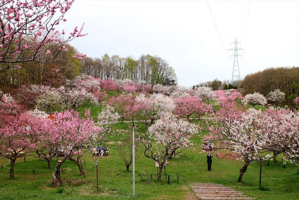 5月6日の梅林全景(1)