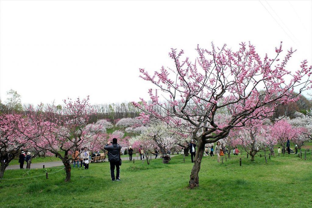 5月6日の梅林中景(2)
