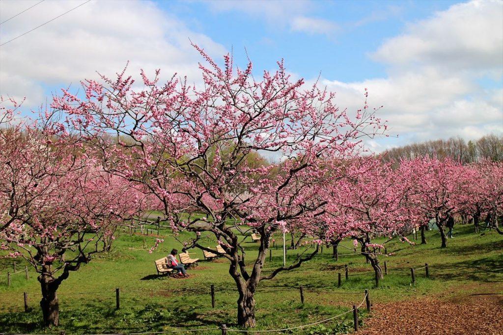 紅梅が見ごろを迎え始めピンク色に染まる梅林