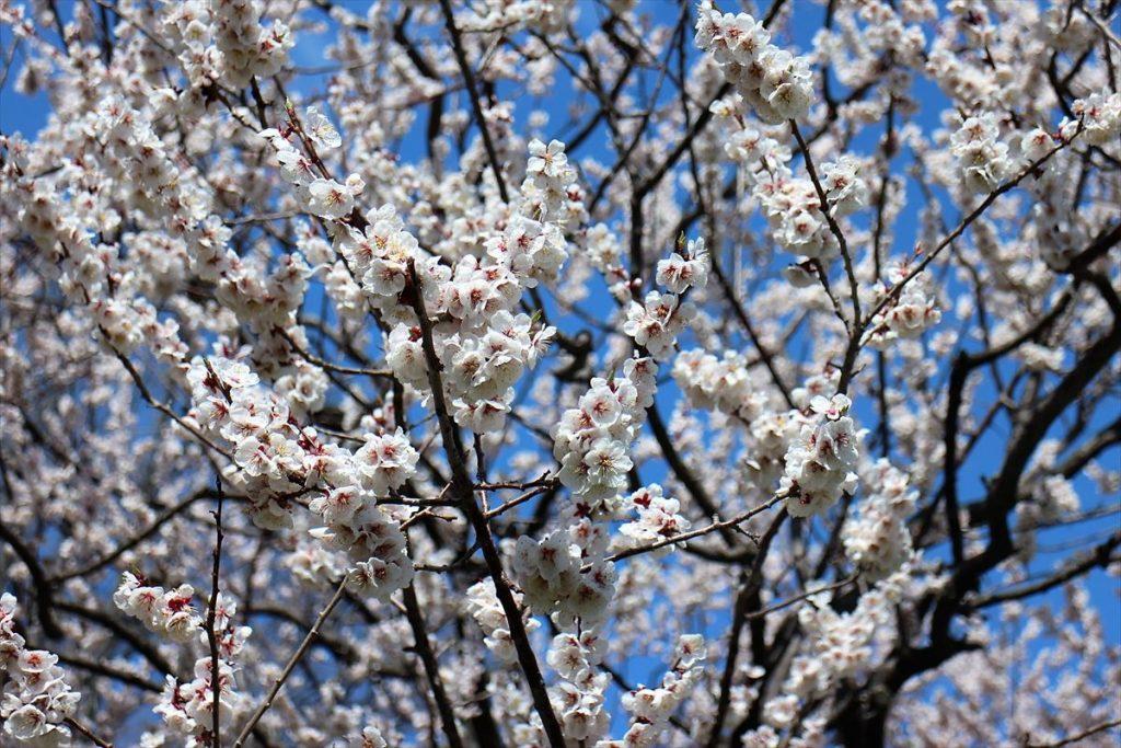 5月7日の白梅基準木の花