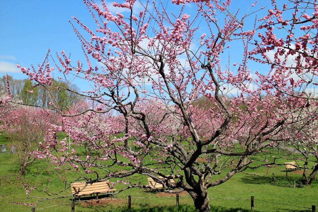 5月7日の紅梅基準木の全景(七分咲)