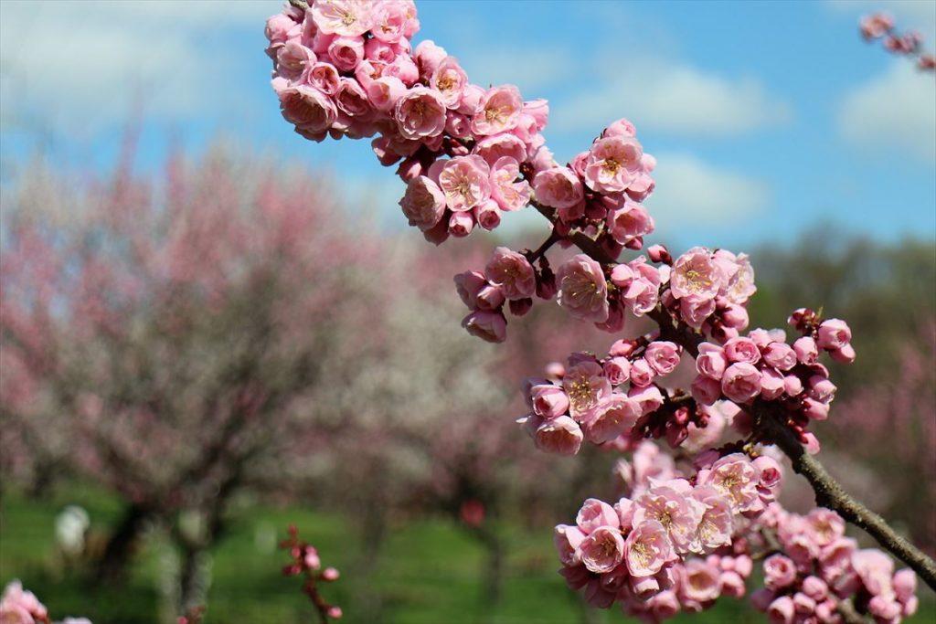 5月7日の紅梅基準木の花