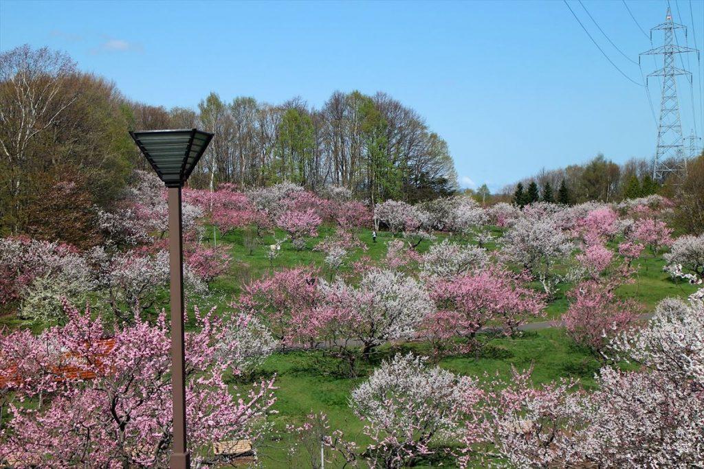 5月7日の梅林全景1(ピンク色の割合が多くなってきた)