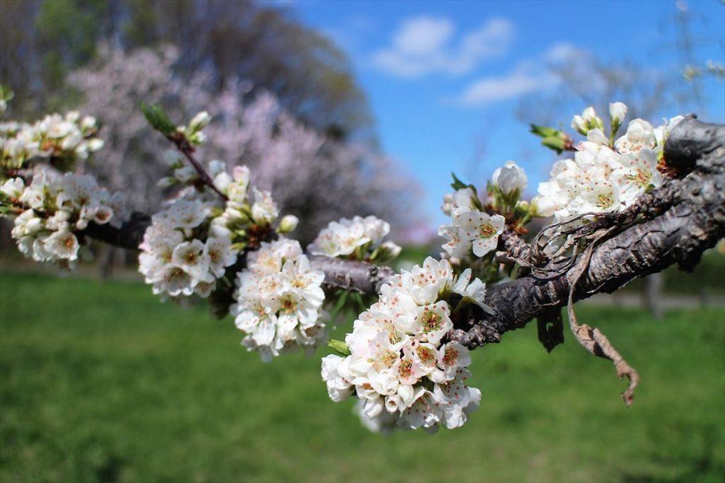 スモモの花も咲いている