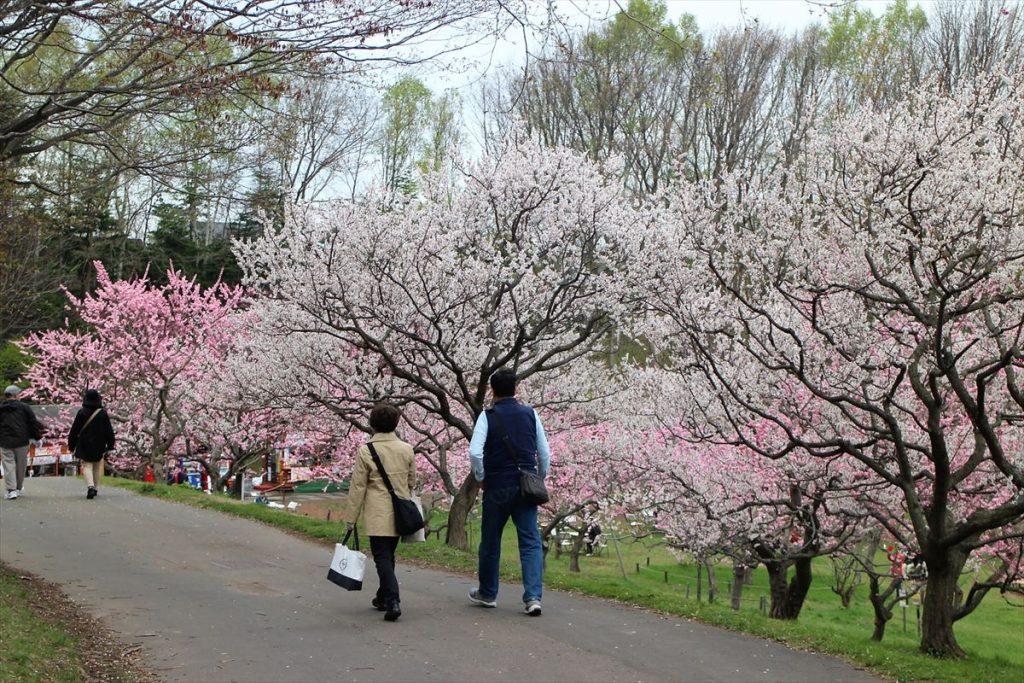 白梅と紅梅が咲く臨時売店に続く下り坂