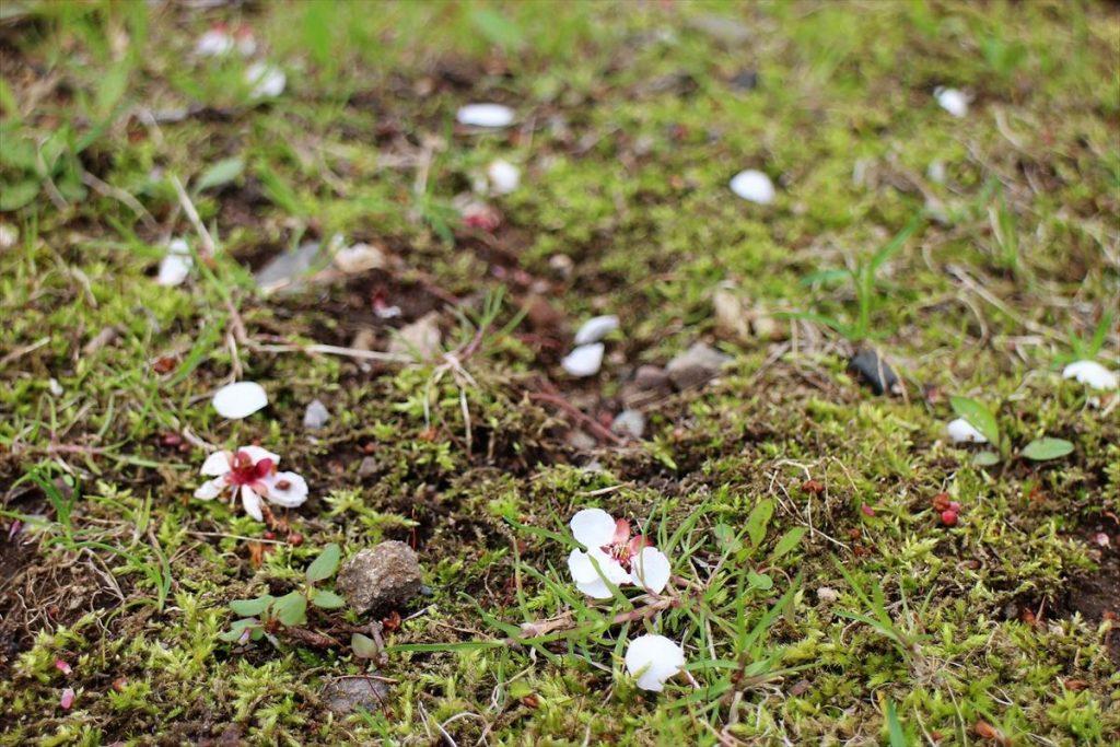 地面に落ちたウメの花びら