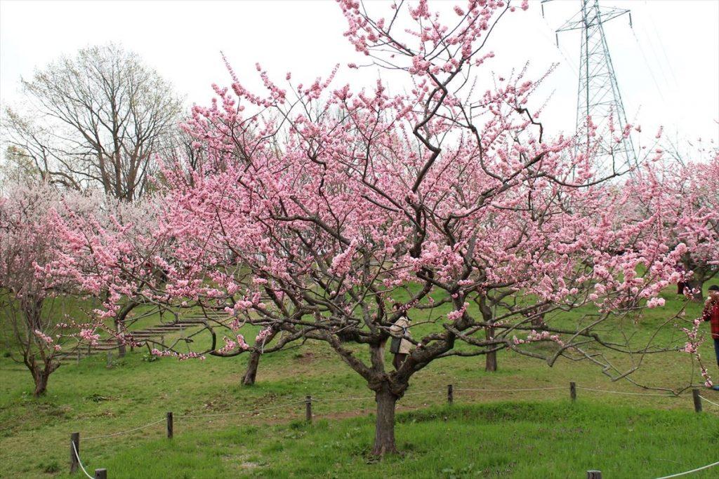5月8日の紅梅基準木の全景(八分咲)