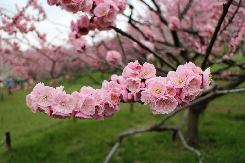 5月8日の紅梅基準木の花