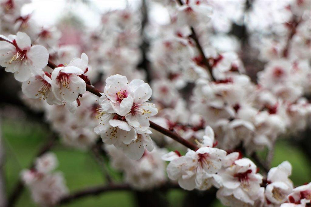 5月8日の白梅基準木の花
