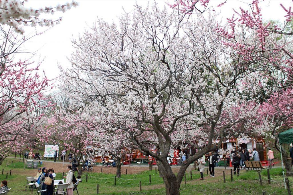5月8日の白梅基準木の全景(散り始め)
