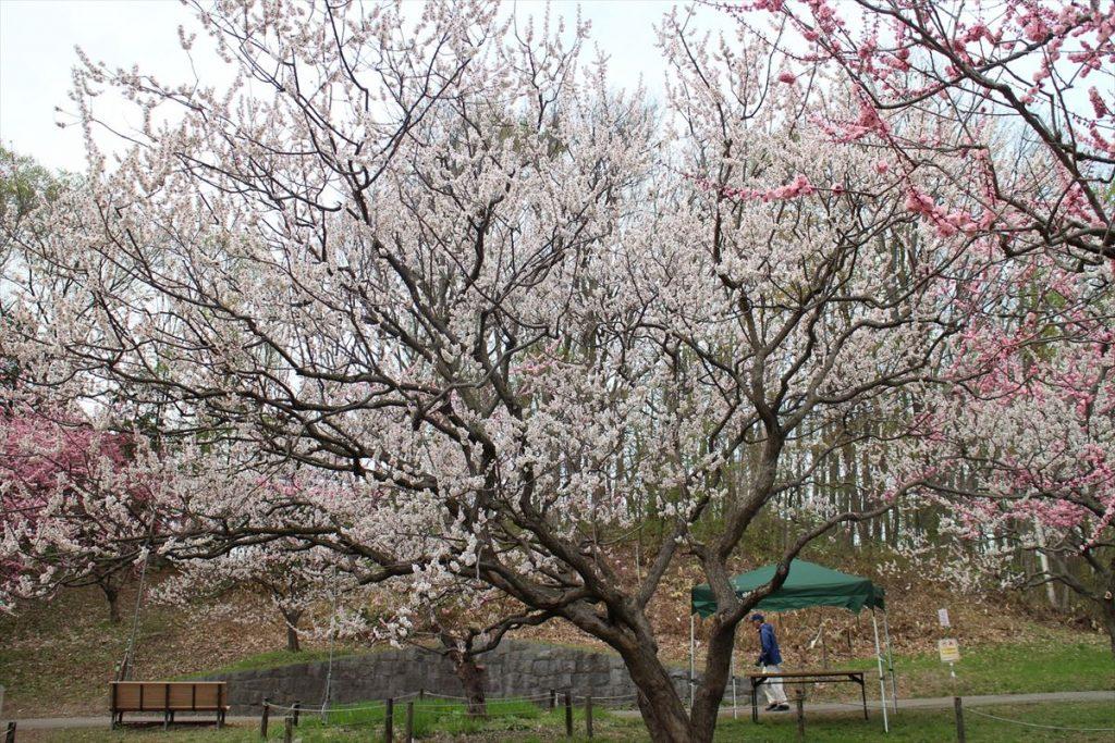 5月9日の白梅基準木の全景(散り始め)