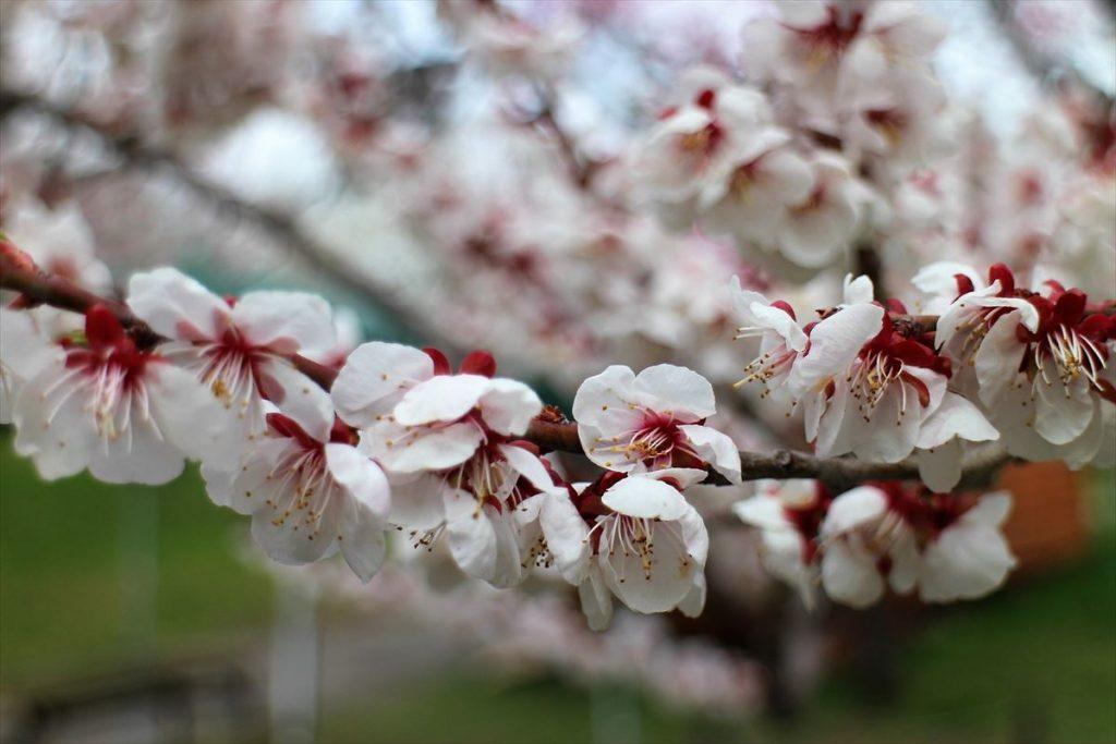 5月9日の白梅基準木の花