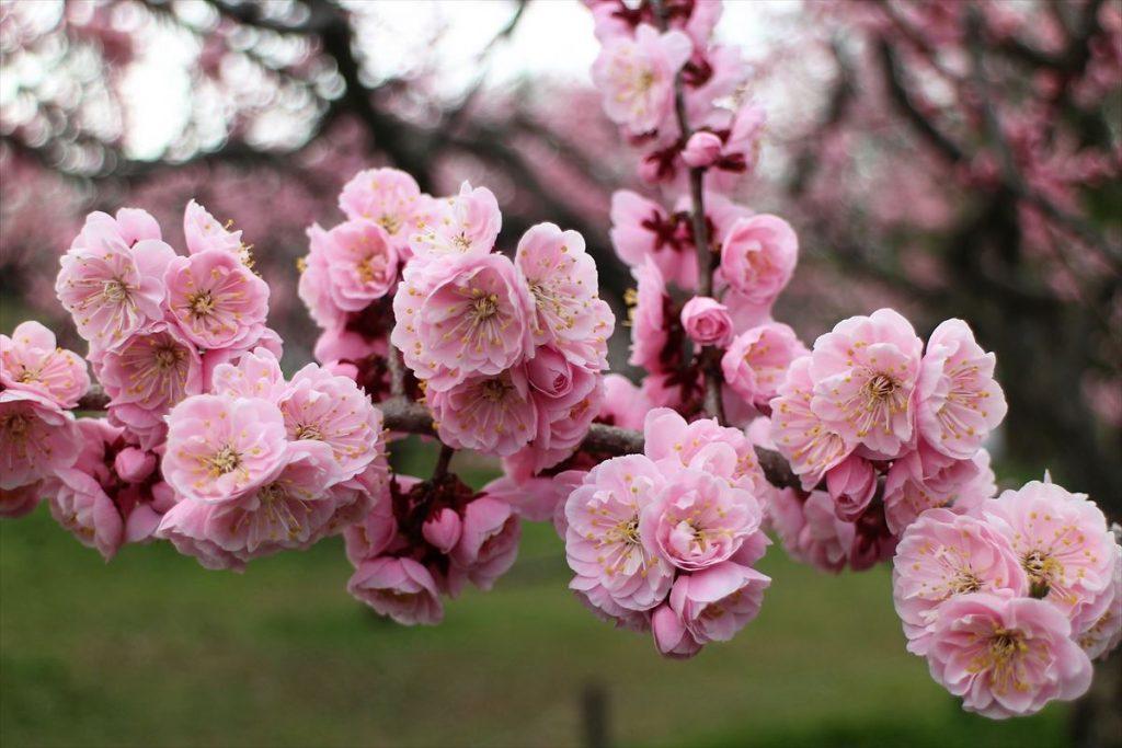 5月9日の紅梅基準木の花