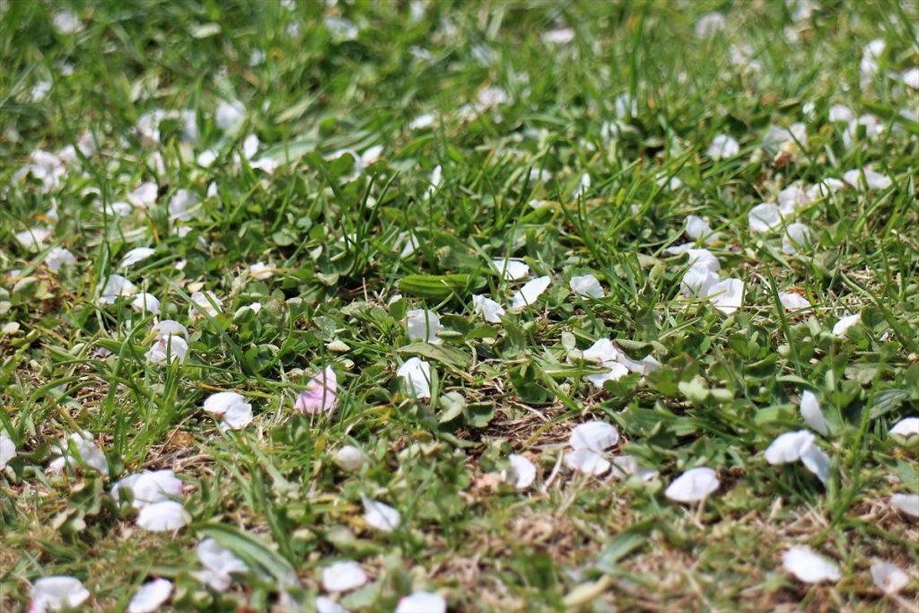 芝生の上に散った白梅の花びら