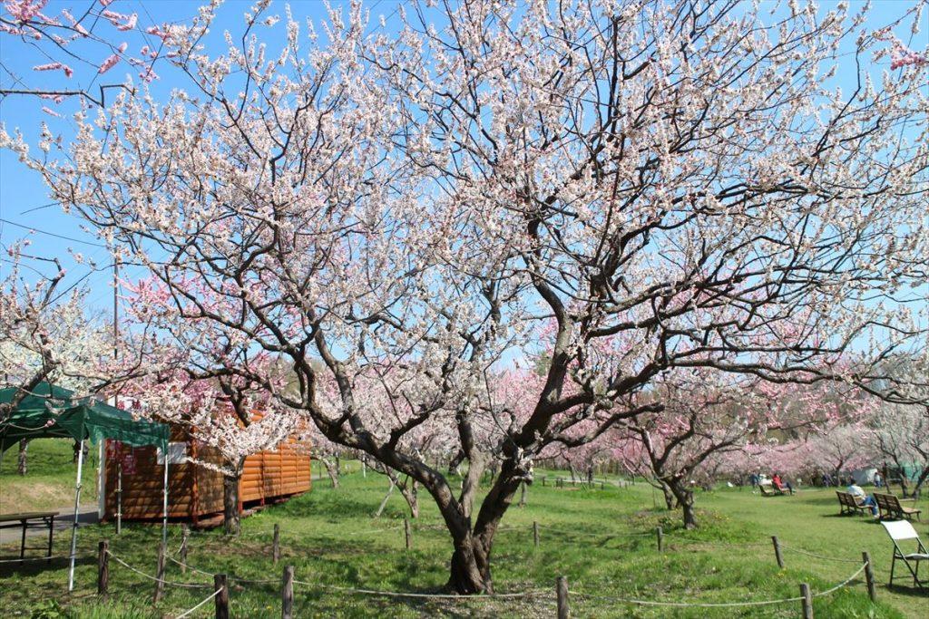 5月10日の白梅基準木の全景(散り始め)