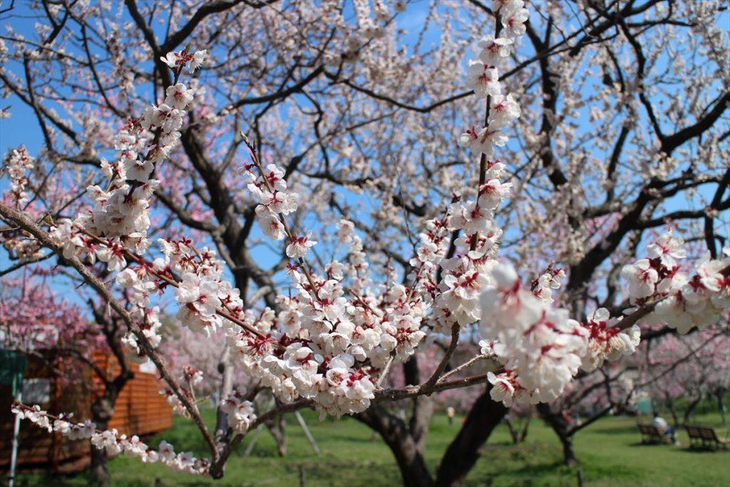 5月10日の白梅基準木の花