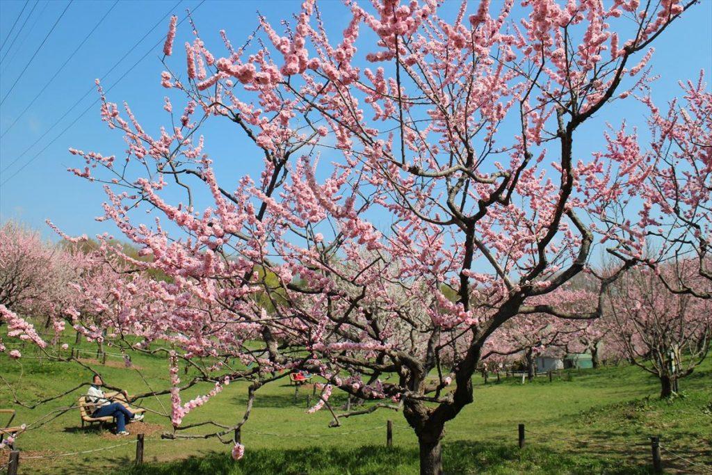 5月10日の紅梅基準木の全景(八分咲)