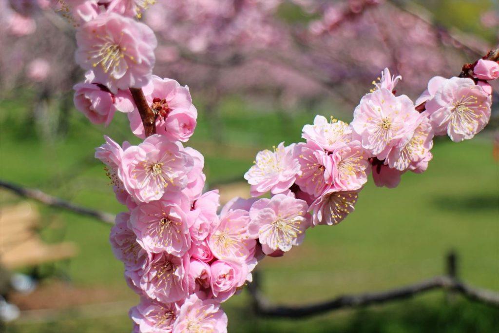 5月10日の紅梅基準木の花