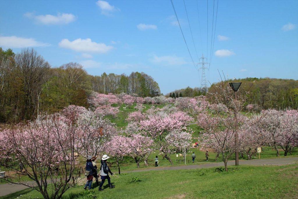 5月10日の梅林全景(1)まだ白梅、紅梅ともに楽しめる