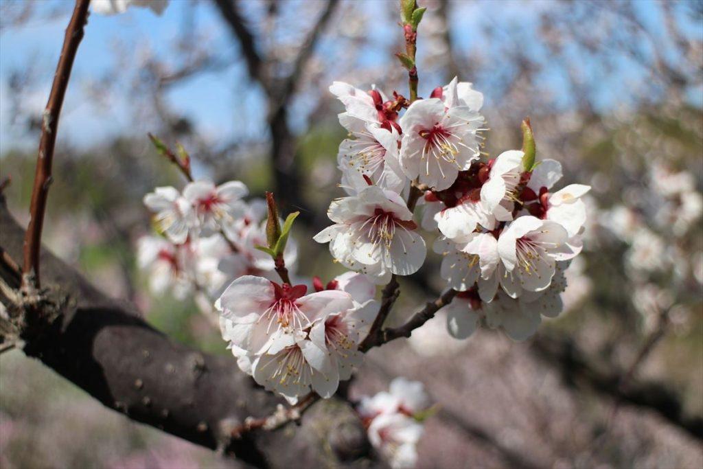 白梅の花アップ