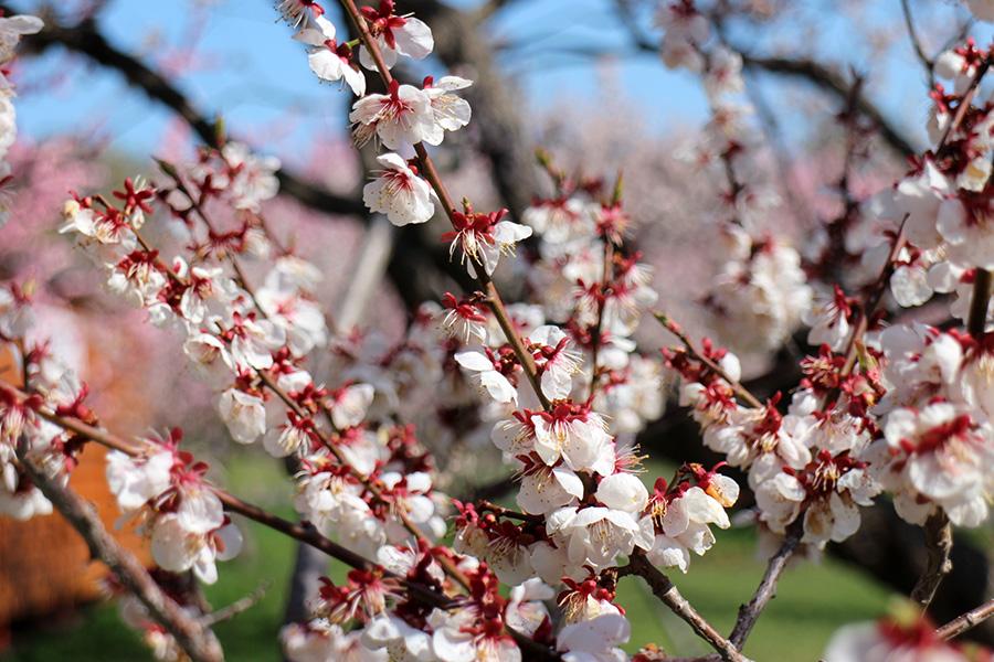 5月11日の白梅基準木の花、まだ花は楽しめる