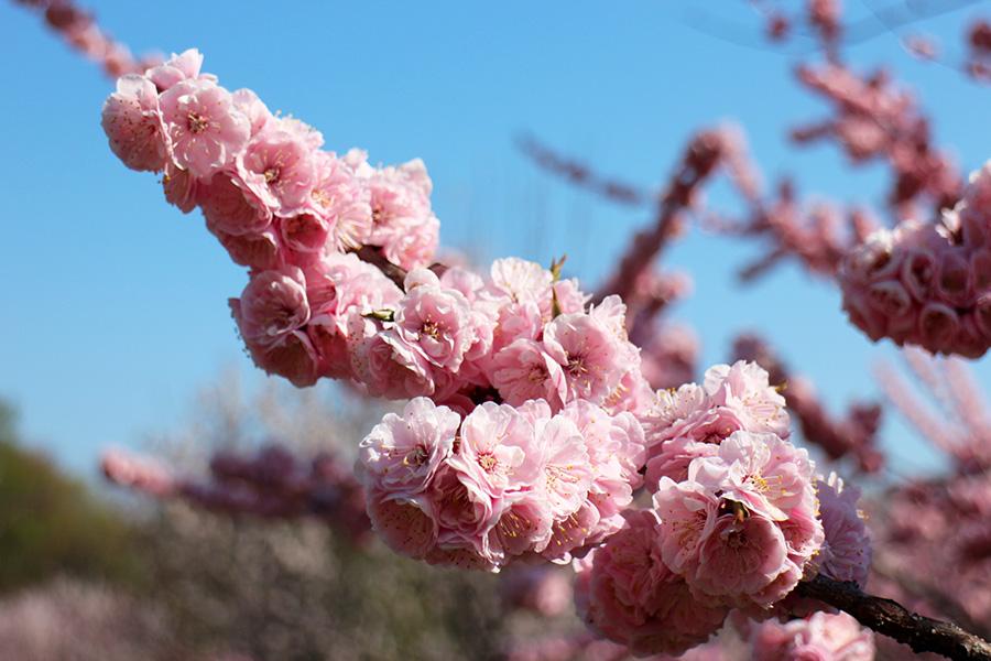 5月11日の紅梅基準木の花