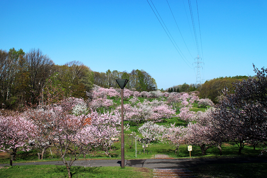 5月11日の梅林全景、青空が澄み渡っている