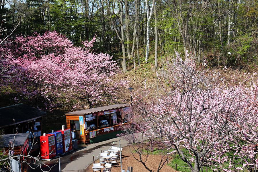 臨時売店裏の紅梅が見事に咲いている