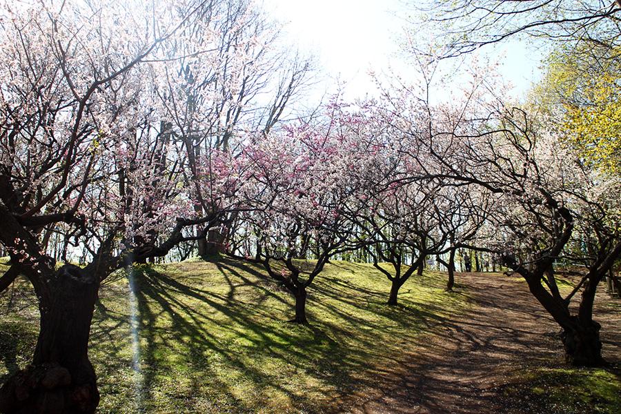 平岡公園ウメの様子(5月11日)
