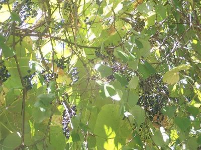 ヤマブドウ