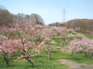 平岡公園梅林 開花時期の写真紹介