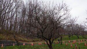 白梅基準木